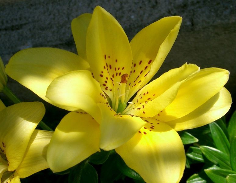 774px-Lys_jaune